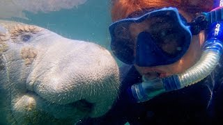 Affectionate Manatee Has Soft Spot For Diver
