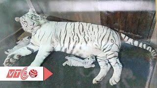 Ngắm những chú bạch hổ đầu tiên sinh tại Việt Nam | VTC
