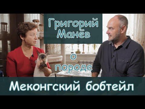 Григорий Манёв,  Меконгский бобтейл, Golden Truffle