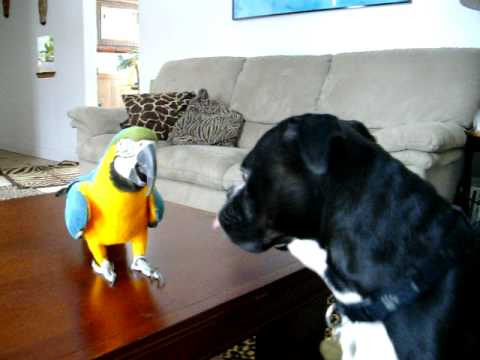 Onyx our black boxer dog playing with willy our macaw blue and gold bird