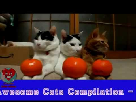Funny Videos   Funny Cat   Funny Animals Videos   Funny Cats Videos   Best Cats