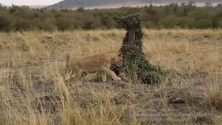 Lion Cubs and Mongoose
