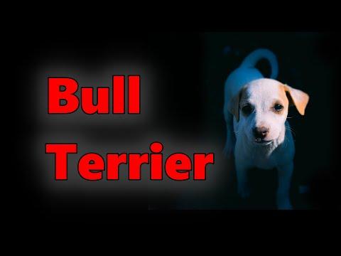 Bull Terrier Dog Breed 2021 – Detox Your Dog