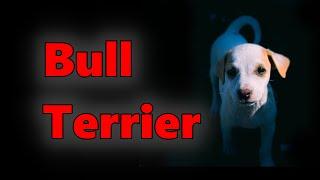 Bull Terrier Dog Breed 2021  Detox Your Dog