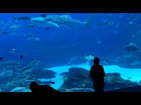 School and Shoals, part 2, Ocean Voyager, Georgia Aquarium