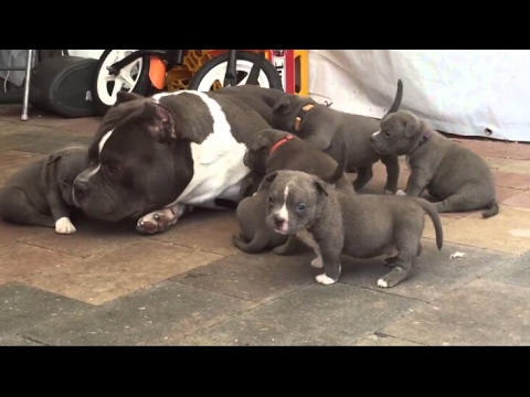Americanbully In Punjab For Sale Whatsapp Me On 0034622056633 Youtube