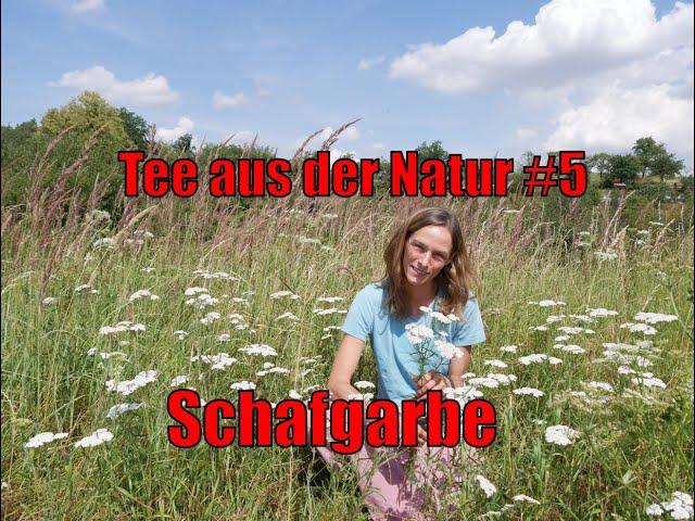 Tee aus der Natur #5 - Schafgarbe - Achillea millefolium