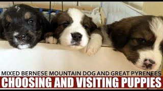 MIXED BREED BERNESE MOUNTAIN DOG & GREAT PYRENEES | CHOOSING PUPPY & VISTING 4 WEEKS OLD PUPPIES
