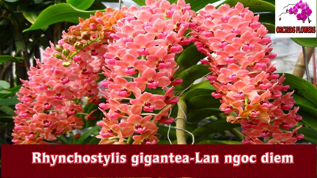 orchids flowers  rhynchostylis gigantealan ngoc diem  hoa lan, Beautiful flower