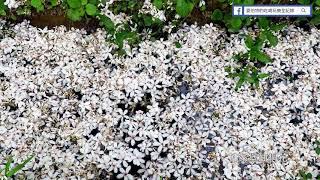 甘家堡:油桐花瓣溪