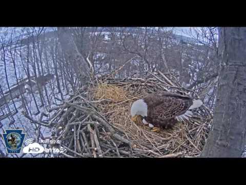 Hatching begins at Hanover bald eagle nest