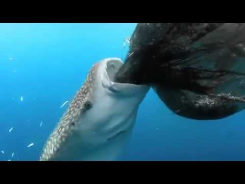 Whale shark eats fish out of fishing net youtube for The fish that ate the whale
