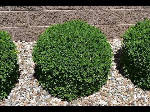 Simple Growing of Boxwood Shrubs