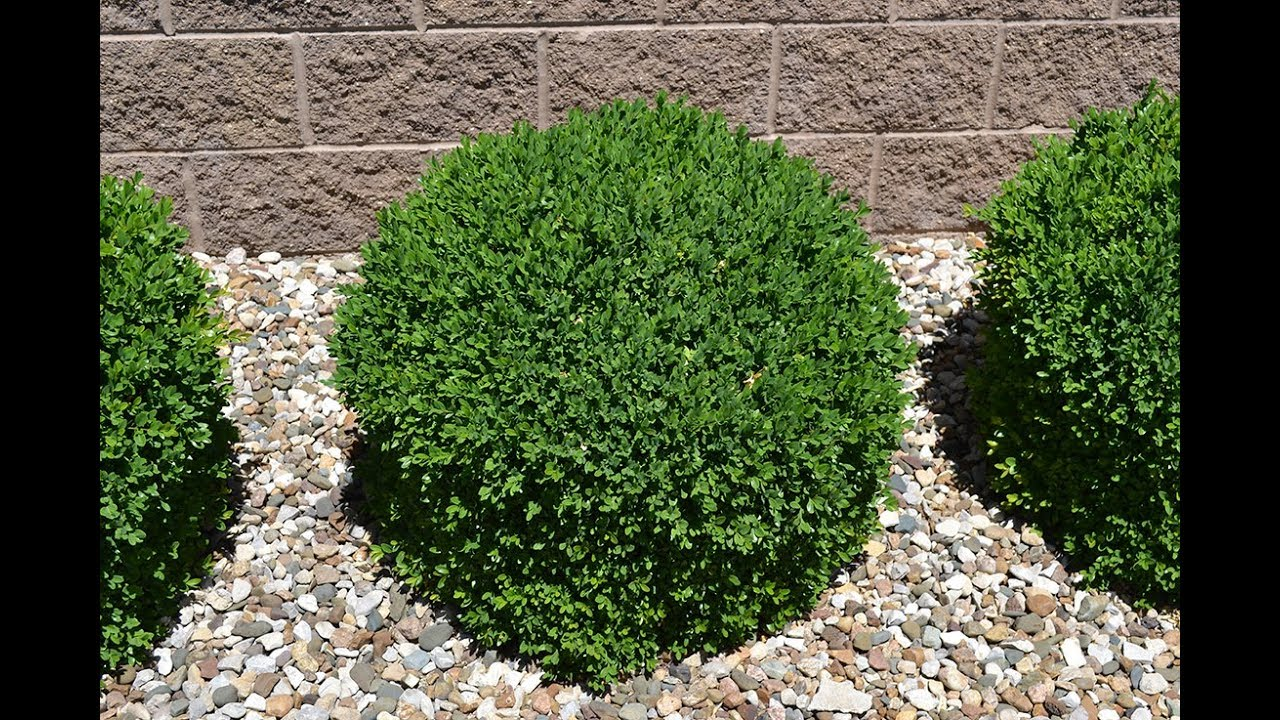Great Simple Growing Of Boxwood Shrubs
