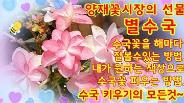 양재꽃시장 에서 데려온 별수국.  수국 키우기의 모든것~내가원하는 색상의 수국꽃 피우는 방법도 알려드려요!