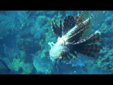 Lion Fish Hunting In Belize 2013