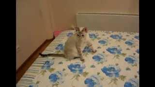 Первые часы жизни котят! Тайские кошки - это чудо! Funny Cats