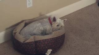 West Highland Terrier Has an Ear Infection