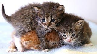 Download Video Anak Kucing Anggora Terlantar Tanpa Induk Di Asuh Betina Kucing Kampung MP3 3GP MP4