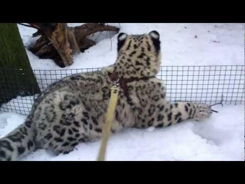 Амурский тигр, информация о амурском тигре, обитание