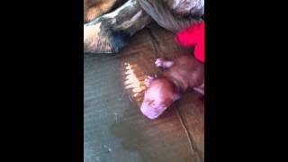 Labrador Retriever Giving Birth