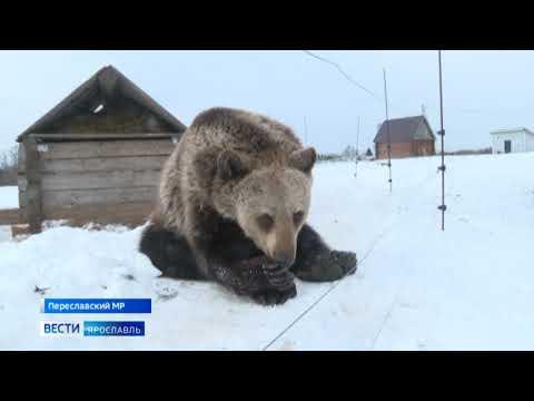 У фермера из Ярославской области живет настоящий медведь