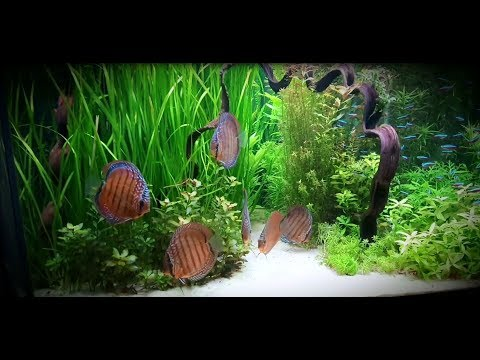 New Video of Paul Grands new stocked, planted Discus Tank