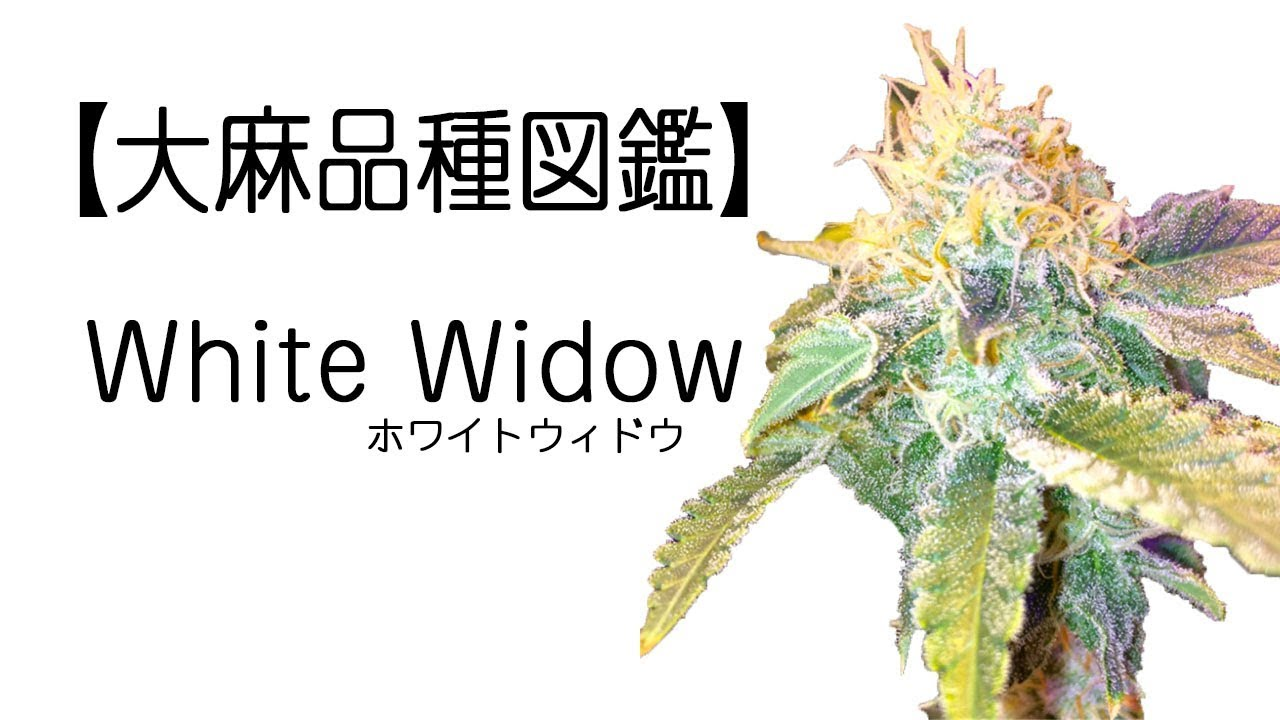 ホワイト ウィドウ