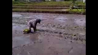 Bali Farmer Planting Rice