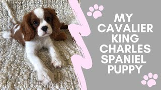 My Puppy Routine | Cavalier King Charles Spaniel + CHEWY HAUL