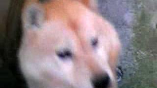 犬種判明しました。北海道犬です。 構って!構って!攻撃を受けました・...