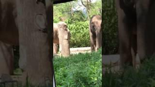 Gajah Taman Safari Indonesia - Gajah Besar 😍