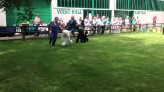 Standard Poodle Club Uk Championship Show 2013