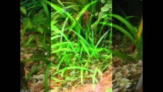 видео Эхинодорус широколистный