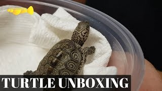 LIVE TURTLE UNBOXING!!! (Concentric Diamondback Terrapin Unboxing)