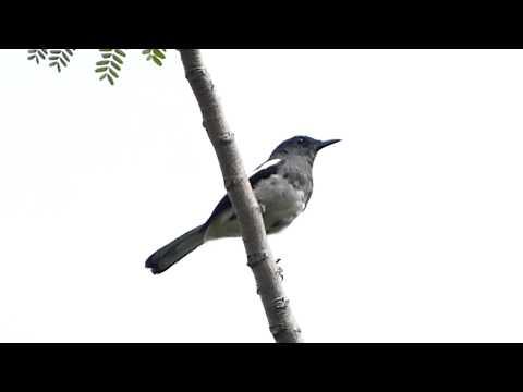 Oriental Magpie Robin, female