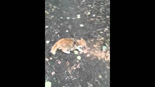 Кот экзот гуляет