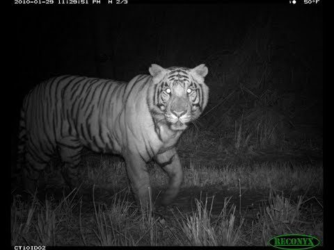 Tiger movement recorded by CCTV near NALCO Damanjodi  hospital on 5 the at about 8:30 PM.