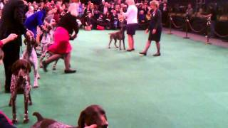 German Shorthaired Pointers Westminster 2012
