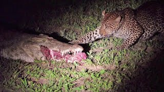 Leopard Eats Food Right Out a Crocodile's Mouth