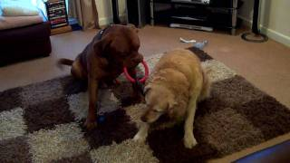 Dogue De Bordeaux Wins A Toy War With  Golden Retriever.