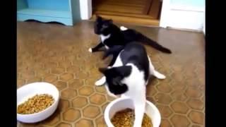 Смешные кошки - смотрите сборку смешных видеороликов с кошками