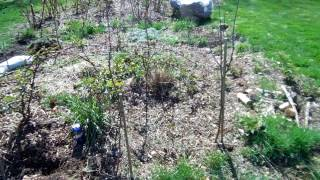 Planting Mulberry Trees