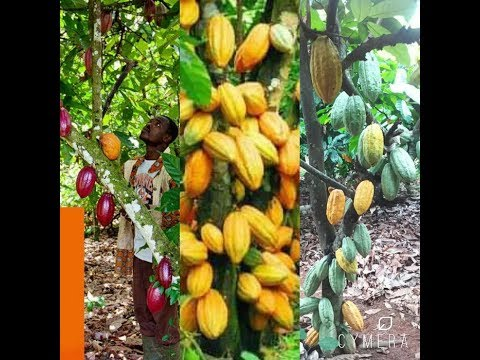 Amazing cocoa farm in West Africa that Worths $3000m/annual