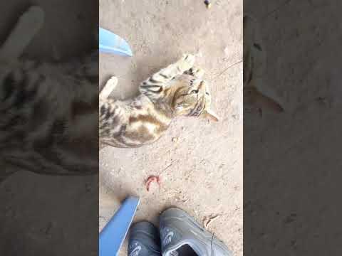 Somalian cats