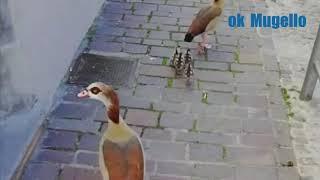 Le oche egiziane che nidificano in Piazza Giotto a Vicchio