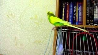 Попугай Кеша говорит