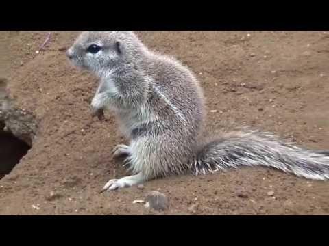 Cape ground squirrel (Xerus inauris) Prague Zoo סנאי קרקע קייפ