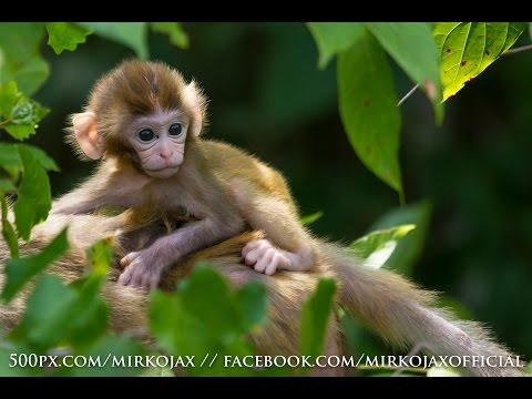 Wild Monkeys at Silver River, Ocala Florida - Rhesus macaques live in Florida - Captain Tom