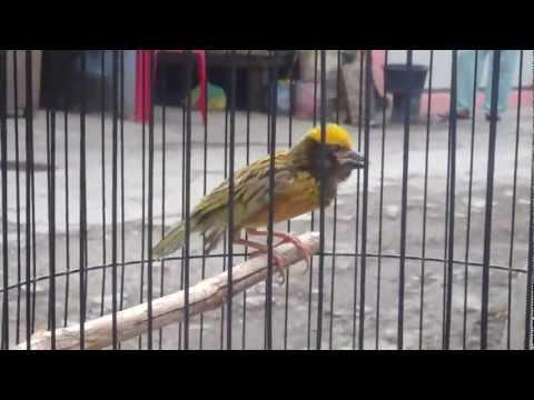 Burung Manyar